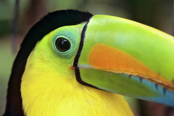 Keel-billed Toucan Photograph - Keel Billed Toucan Close-up Costa Rica by Animal Images