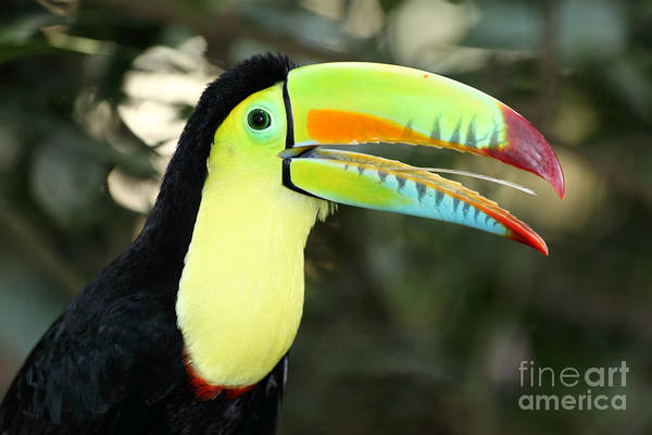 Photograph - Keel Billed Toucan by James Brunker