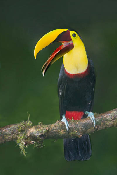 Toucan Photograph - Keel-billed Toucan Ramphastos by Panoramic Images
