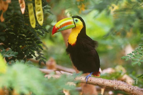 Ramphastidae Photograph - Keel-billed Toucan Ramphastos Sulfuratus by Art Wolfe