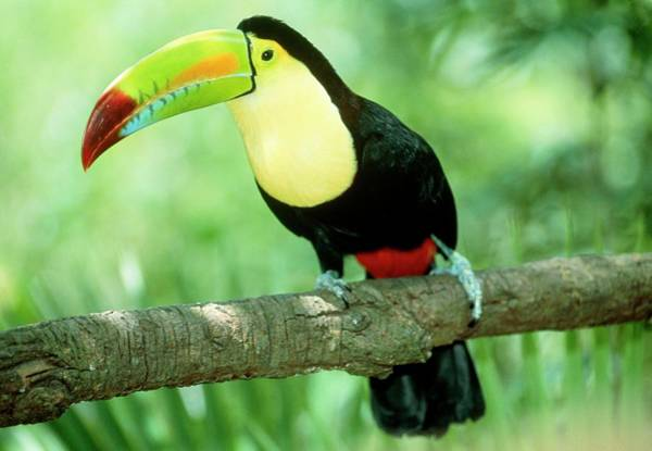 Wall Art - Photograph - Keel-billed Toucan (ramphastos Sulfuratus) In Tree by William Ervin/science Photo Library