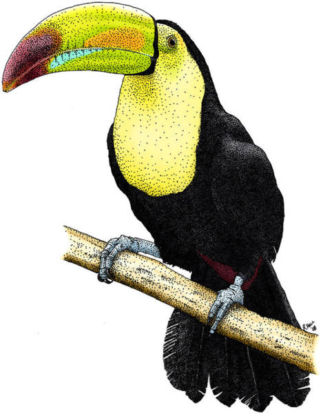 Keel-billed Toucan Photograph - Keel-billed Toucan by Roger Hall