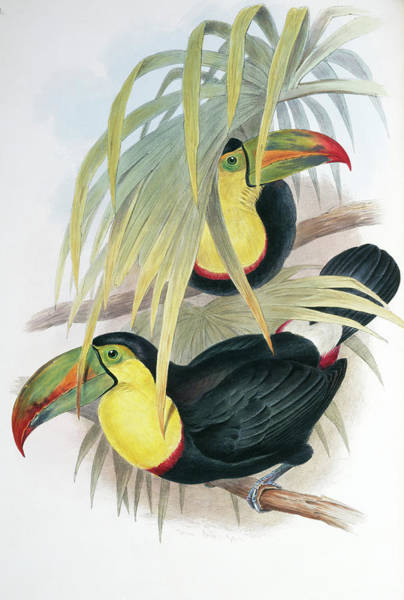 Keel-billed Toucan Photograph - Keel-billed Toucans by Natural History Museum, London/science Photo Library