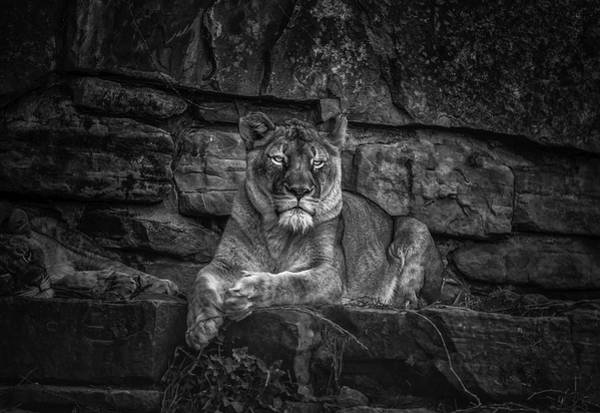 Photograph - Keen Eyed Lioness by Donald Brown