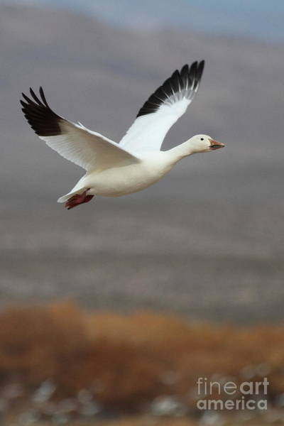 Wall Art - Photograph - keep flying Goose by Ruth Jolly
