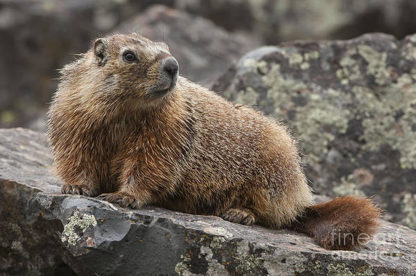 Marmot Photograph - Keeping An Eye Out by Sandra Bronstein