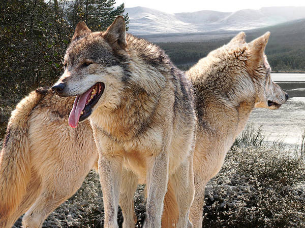 Timberwolves Photograph - Keeping Watch - Pair Of Wolves by Gill Billington