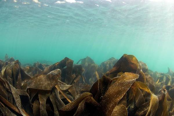 Kelp Photograph - Kelp by Andy Davies/science Photo Library
