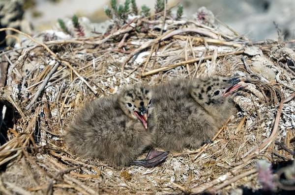 Kelp Photograph - Kelp Gull Chicks In Their Nest by Peter Chadwick/science Photo Library