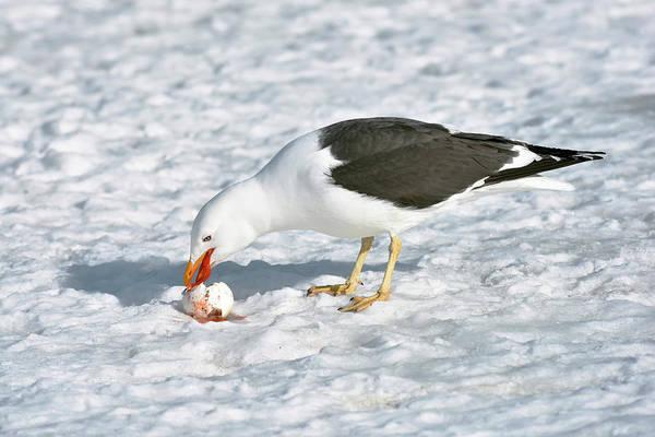 Kelp Photograph - Kelp Gull Eating A Penguin Egg by Dr P. Marazzi