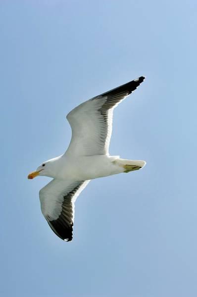Kelp Photograph - Kelp Gull In Flight by Tony Camacho/science Photo Library