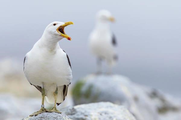 Kelp Photograph - Kelp Gull Larus Dominicanus Calling by Peter Chadwick