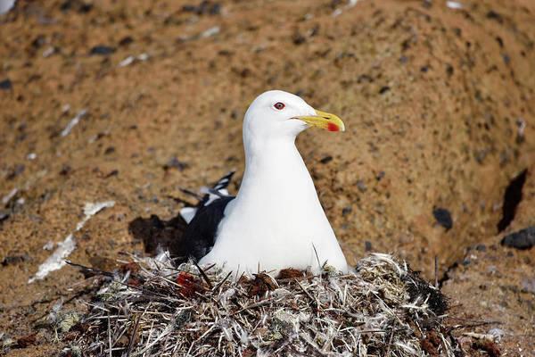 Kelp Photograph - Kelp Gull On Its Nest by Dr P. Marazzi