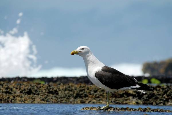 Kelp Photograph - Kelp Gull by Peter Chadwick/science Photo Library