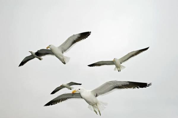 Kelp Photograph - Kelp Gulls by Tony Camacho/science Photo Library