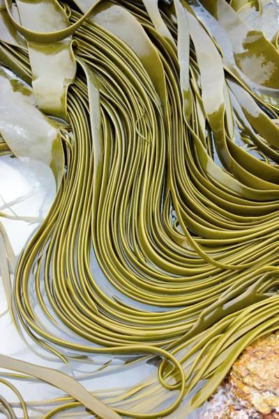 Kelp Photograph - Kelp Seaweed by Steve Allen/science Photo Library