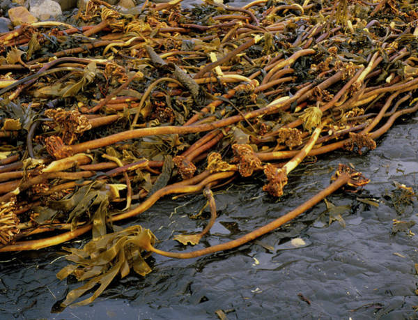 Kelp Photograph - Kelp by Sinclair Stammers/science Photo Library