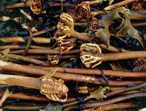 Kelp Photograph - Kelp Washed Up On Shore by Sinclair Stammers/science Photo Library