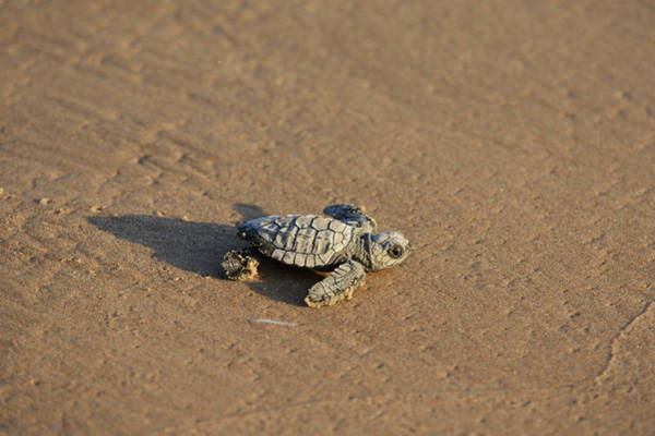 Wall Art - Photograph - Kemp's Ridley Sea Turtle (lepidochelys by Rolf Nussbaumer