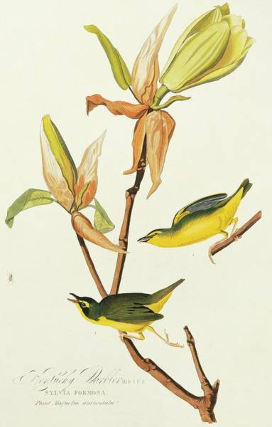 Aquatint Photograph - Kentucky Warblers by Natural History Museum, London/science Photo Library