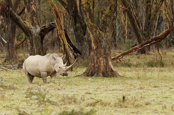Stoney Photograph - Kenya, Africa Adult Rhinoceros by Jan and Stoney Edwards