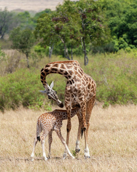 Wall Art - Photograph - Kenya, Giraffe, Mother, Baby Feeding by George Theodore