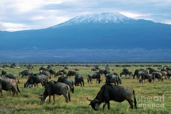 Mount Kenya Photograph - Kenya Mount Kilimanjaro Wildebeests Grazing by Anonymous