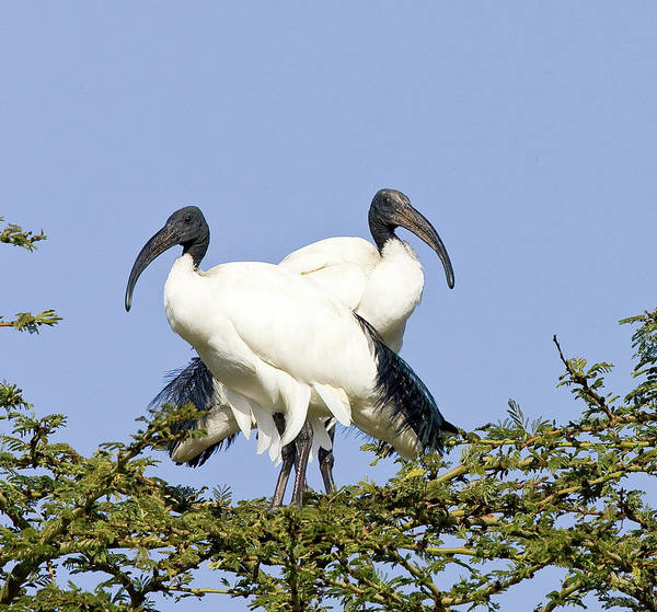 Wall Art - Photograph - Kenya Pair Of Sacred Ibis Birds Stand by Jaynes Gallery