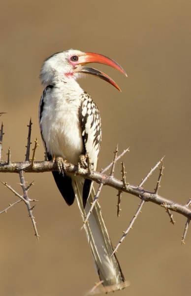 Hornbill Photograph - Kenya Red-billed Hornbill Bird Perched by Jaynes Gallery