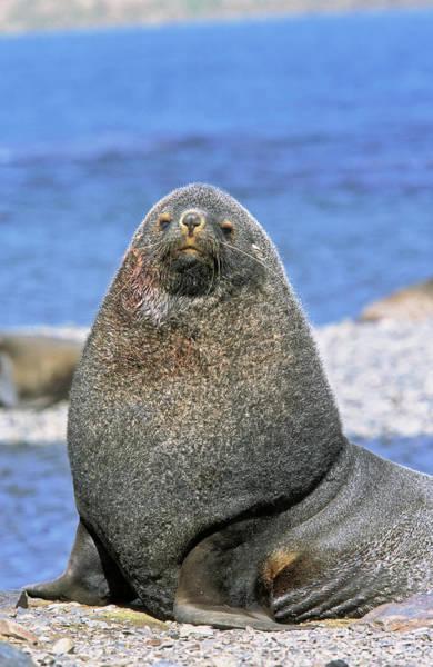 Antarctic Photograph - Kerguelen Fur Seal, Antarctic Fur Seal by Martin Zwick