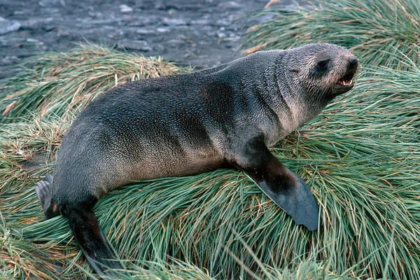 Wall Art - Photograph - Kerguelen Fur Seal by Robert Hernandez