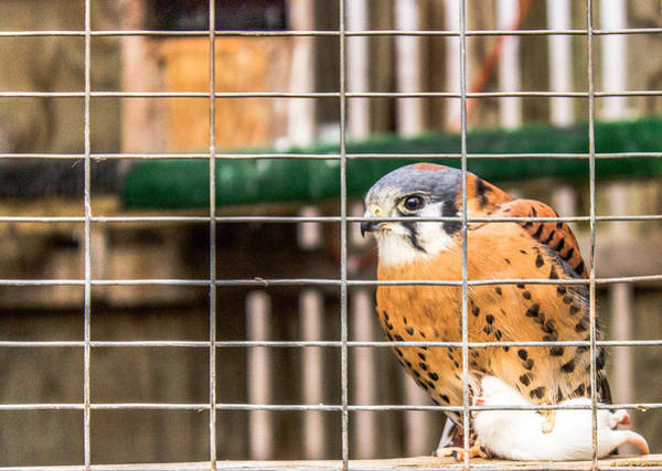 Photograph - Kestrel And A Headless Mouse by Pete Hendley