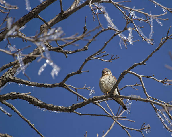 Wall Art - Photograph - Kestrel And Ice 1 by Thomas Young