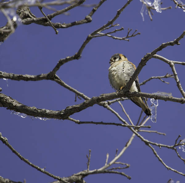 Wall Art - Photograph - Kestrel And Ice 2 by Thomas Young