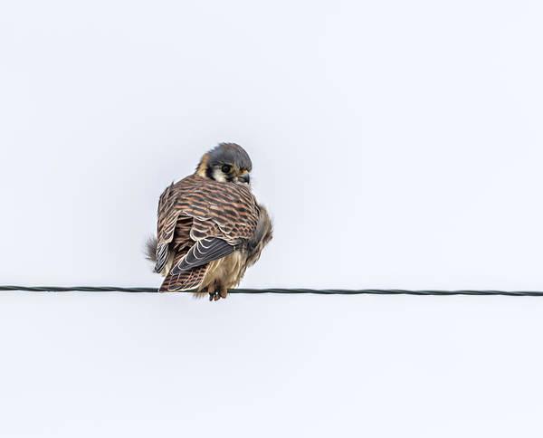 Wall Art - Photograph - Kestrel Falcon by Thomas Young