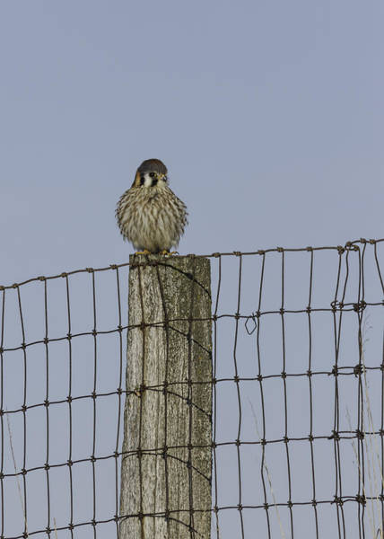 Wall Art - Photograph - Kestrel On A Fence Pole by Thomas Young