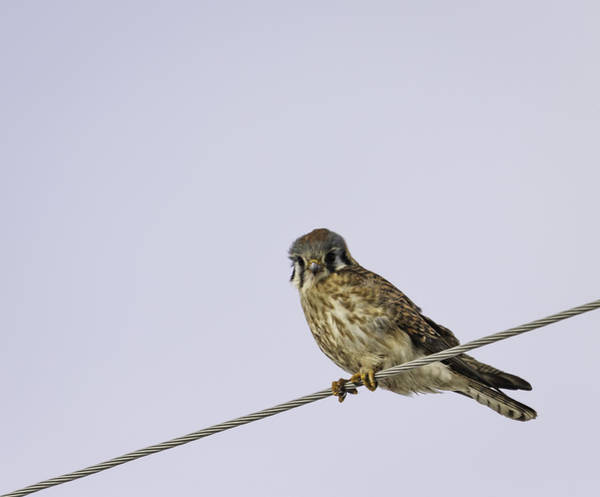 Wall Art - Photograph - Kestrel On A Wire by Thomas Young