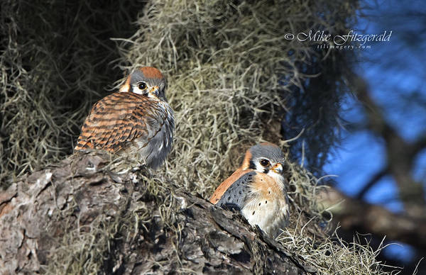 Photograph - Kestrel Pair by Mike Fitzgerald