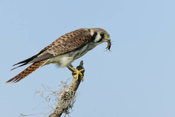 Photograph - Kestrel With A Cricket by Bradford Martin