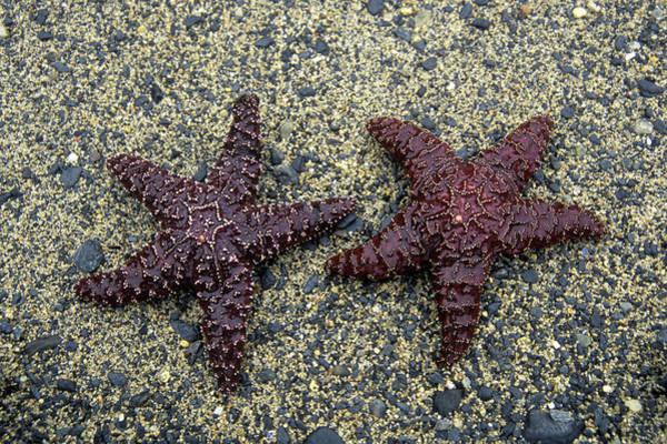 Ketchikan Photograph - Ketchikan Alaska Starfish In Settlers by Animal Images