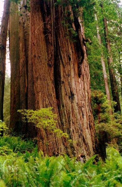 Photograph - Kevin And The Big Tree - Redwood National Forest by Michelle Calkins
