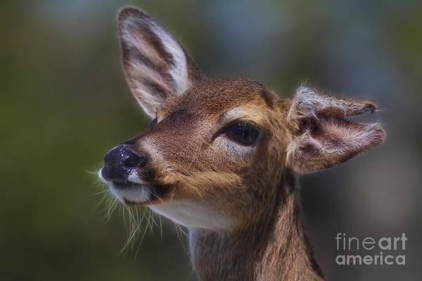 Photograph - Key Deer by Deborah Benoit