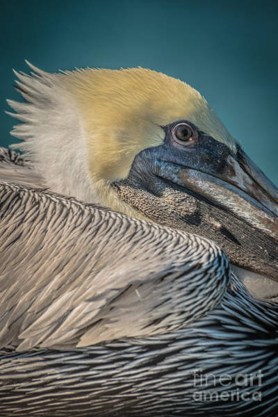 Pelican Wall Art - Photograph - Key West Pelican Closeup 2 - Pelecanus Occidentalis - Hdr Style by Ian Monk