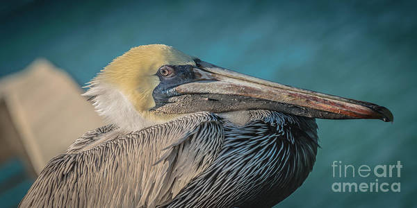 Pelican Wall Art - Photograph - Key West Pelican Closeup - Panoramic - Hdr Style by Ian Monk