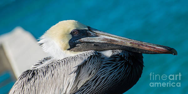 White Pelican Photograph - Key West Pelican Closeup - Panoramic by Ian Monk