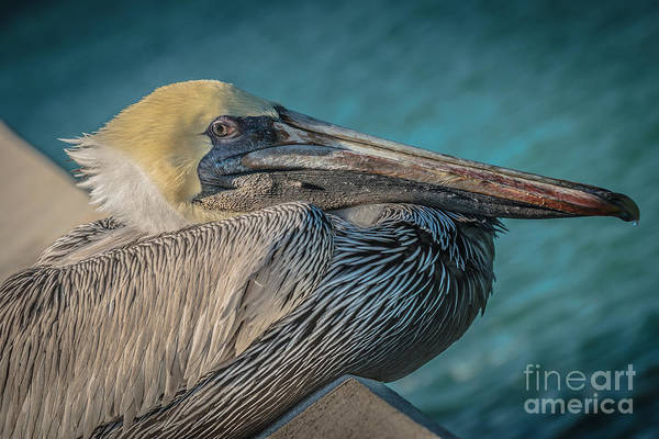 Pelican Wall Art - Photograph - Key West Pelican Closeup - Pelecanus Occidentalis - Hdr Style by Ian Monk