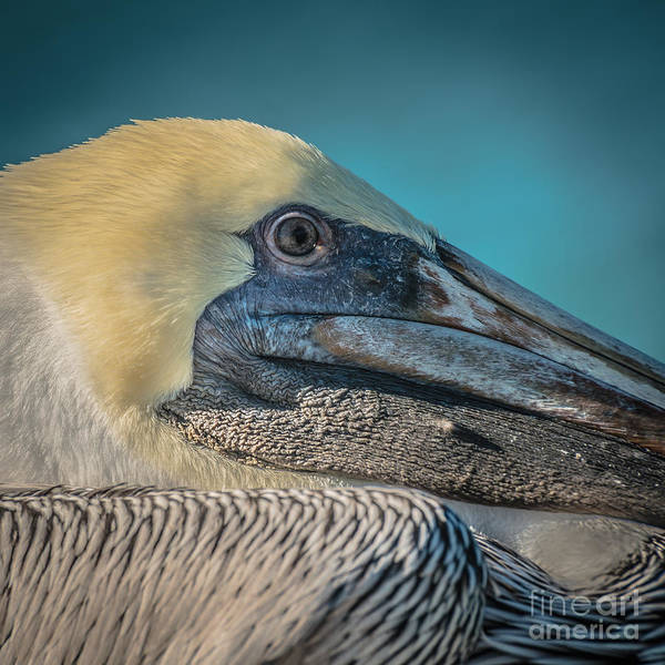 Pelican Wall Art - Photograph - Key West Pelican Closeup - Square - Hdr Style by Ian Monk