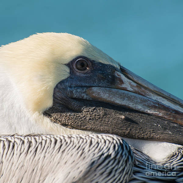 Brown Pelicans Photograph - Key West Pelican Closeup - Square  by Ian Monk