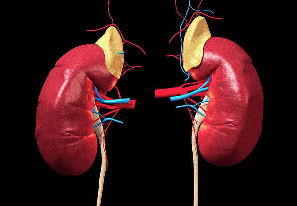 Wall Art - Photograph - Kidneys And Adrenal Glands by Roger Harris
