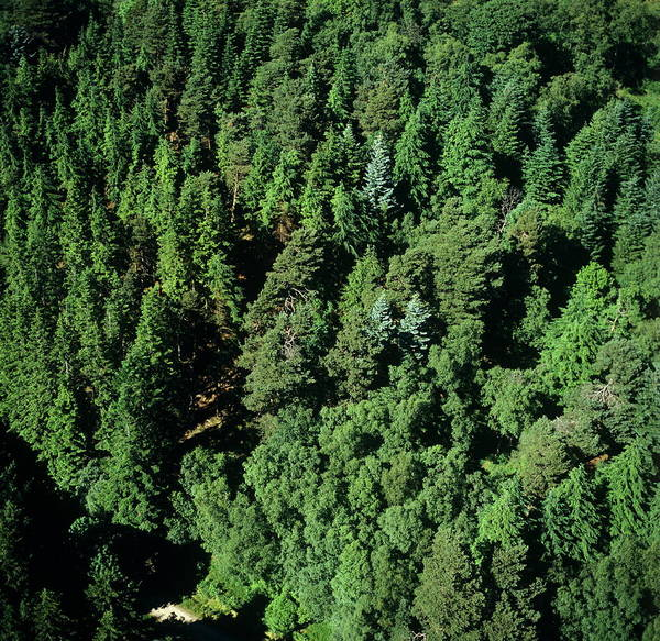 Spruce Photograph - Kielder Forest by Skyscan/science Photo Library